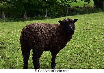 Cute Brown Romney Sheep in a Lush Grass Field