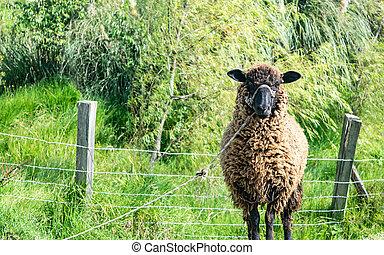 Cute brown sheep of long wool grazing in a green meadow A