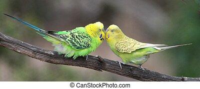 Pair of pretty budgerigar birds preparing to mate