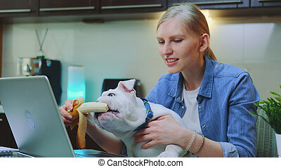 Cute bulldog eating banana sitting on woman's knees in front of computer