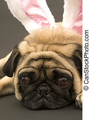 Cute Bunny Pug Laying Down