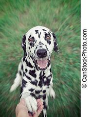 cute, cão, dá, seu, pata, para, a, proprietário, para, siga, --, toned, e, radial, obscurecido