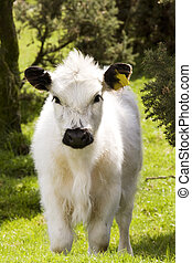 cute calf - young calf looking at the camera with interest