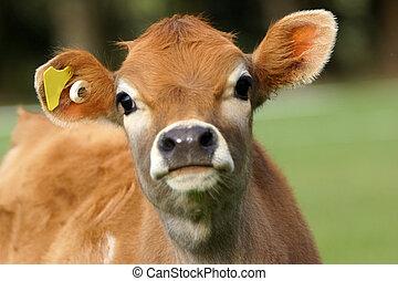 cute calf - Cute Jersey calf, Westland, New Zealand