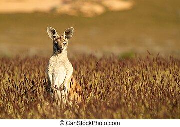 cute, canguru, em, outback australiano
