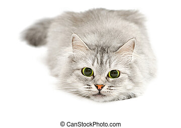Excited cute cat with dilated pupils before jump