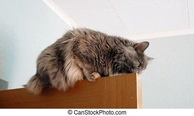 Cute cat exploring top part of door. Footage of gray cat on...