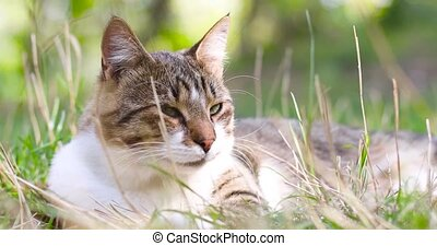 Cute happy striped gray white cat relaxing on grass outdoors. Friendly pet.