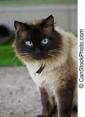 Cute cat with blue eyes