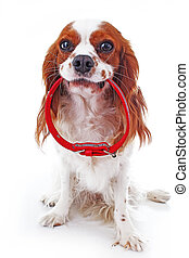 Cute cavalier king charles spaniel dog puppy on isolated white studio background. Dog puppy with red dog collar.