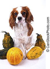 Cute cavalier king charles spaniel dog puppy on isolated white studio background. Dog puppy with pumpkins pumpkin vegetable. Thanksgiving or holiday concept.