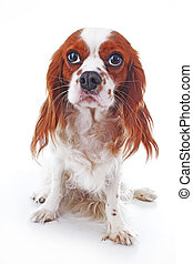 Cute cavalier king charles spaniel puppy dog on isolated white background. Puppy clipping path. Cuite dog photos.