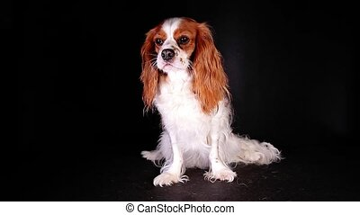 Cute cavalier king charles spaniel puppy dog videos - Cute...