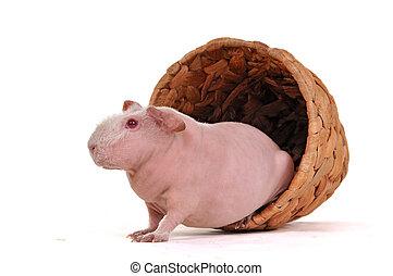 Cavy in a flower pot