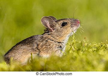 cute, cheirar, arredores, madeira, verde, rato