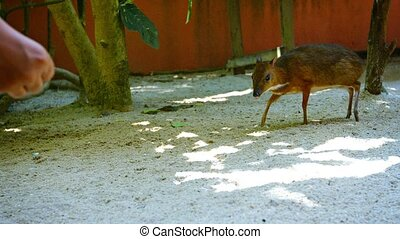 Cute Chevrotain Approaches Tourist to Accept Food at Petting Zoo