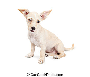 Cute Chihuahua Crossbreed Puppy With Perky Ears - Cute...