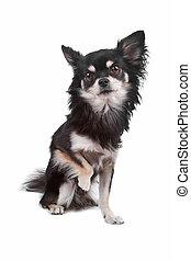 Cute Chihuahua dog