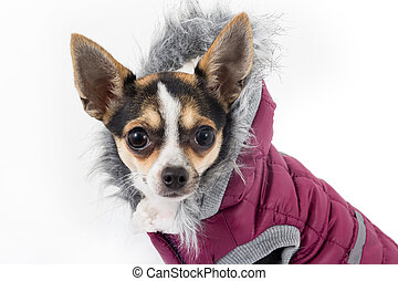 cute chihuahua dog with winter coat