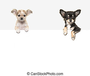 Cute chihuahua dogs hanging over a white paper border with room for text on a soft grey background