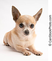 Cute Chihuahua Isolated on White Background