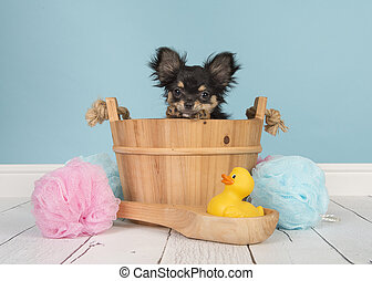 Chihuahua puppy ia a big blue bucket  Close up portrait of a