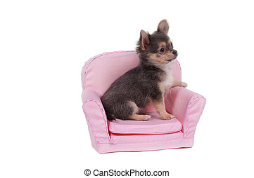 Cute chihuahua puppy sitting in pink comfortable armchair isolated on white background