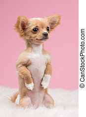 Cute chihuahua puppy sitting upright begging at a pink background
