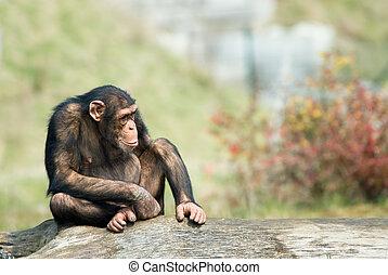 cute chimpanzee - close-up of a cute chimpanzee (Pan...