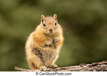 Cute Chipmunk well fed on nuts and seeds - Cute tame and...