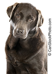 Cute Chocolate Labrador with Head Tilted - Shot of a Cute...