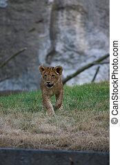 cute, close-up, filhote leão