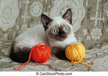 Cute color-point kitten with blue eyes is sitting on a beige sofa and playing with colorful balls of threads, front view.