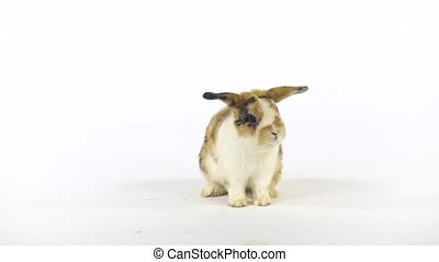 Cute colored rabbit sniffing and looking around on white background at studio. Slow motion