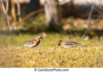 Cute Common Chaffinch passerine bird foraging grass for food on sunny day