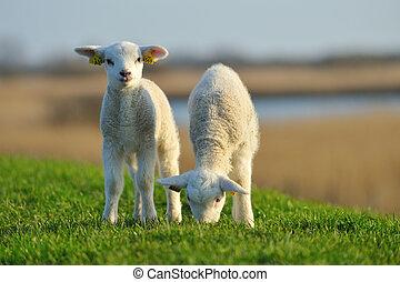 cute, cordeiros, em, primavera