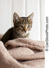 cute, cozy, sentando, cobertor, tricotado, luminoso, gatinho cinza, listrado, quarto branco