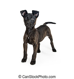 Cute Crossbreed Black Puppy Standing on White