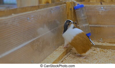 Cute curious guinea pigs in theit house looking from fence