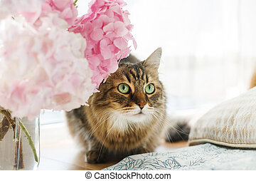 Cute curious tabby cat sitting under beautiful pink and purple hydrangea flowers in sunny light on rustic window sill. Maine coon and flowers. Summer home momets.
