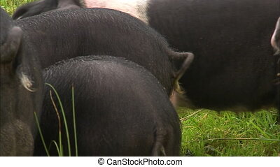 Cute curled piggy tails - A close up shot of pigs' tail as...