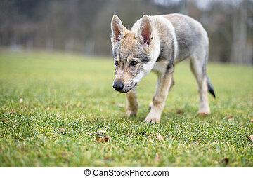 Young cute Czechoslovakian wolf, wild nature photo