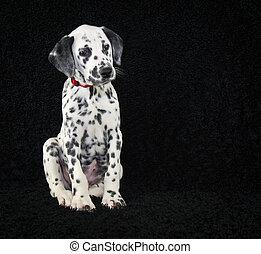 Cute Dalmatia Puppy - Super cute Dalmatia puppy sitting on a...
