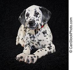 Cute Dalmatia Puppy - Very sweet Dalmatia laying on a black ...