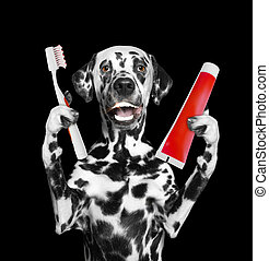 Cute dalmatian dog clean the teeth with a toothbrush. Isolated on black