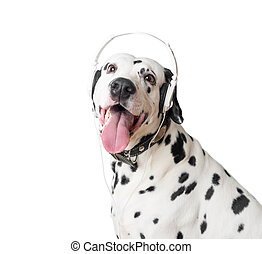 Cute dalmatian dog in headphones and collar.