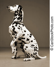 cute dalmatians sitting and lift his leg in sephia background photo studio