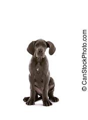 Cute danish dog - Beautiful puppy danish dog on white ...