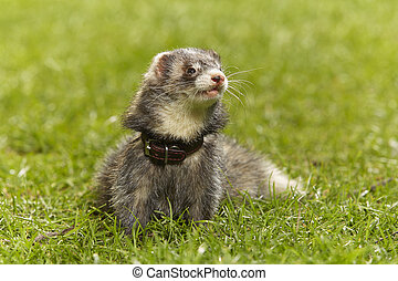 Cute dark ferret on green grass