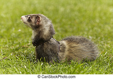 Cute dark ferret on green grass